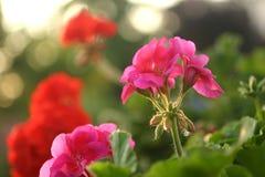 geranium Royalty-vrije Stock Fotografie