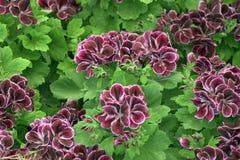 Geranium. Ivy type Stock Image
