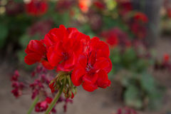geranium Foto de Stock Royalty Free