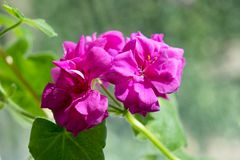 geranium Fotos de Stock Royalty Free