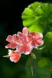 Geranium Royalty-vrije Stock Afbeelding