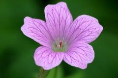 geranium stock fotografie
