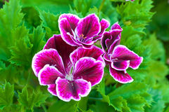Geranium. Close up of geranium pink flower with green leaf stock image