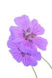 Geranium. Two Geranium flowers stock image