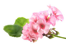 Geranium. Pink flowers of a geranium with green leaves on white background stock photography