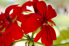 geranium fotos de stock