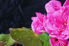 Geranium ampel with drops of water Stock Photo