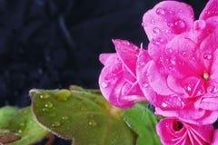 Geranium ampel met dalingen van water Stock Foto