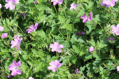 Geranium Background. A background of pink and lavender Geranium flowers and leaves otherwise known as Cranesbill Stock Photos