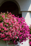 Geranium. Beautiful geranium flower on the balcony stock images