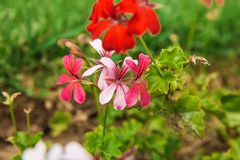 Beautiful flowers on the bushes. unusually beautiful flowering plants. Red flowers geranium. Geranium beautiful flowers on the bushes. unusually beautiful royalty free stock images