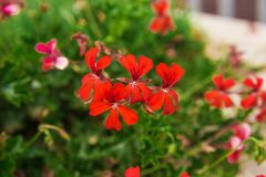 Beautiful flowers on the bushes. unusually beautiful flowering plants. Red flowers geranium. Geranium beautiful flowers on the bushes. unusually beautiful stock photos