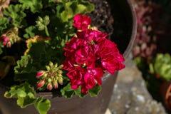 Geranium - Beautiful garden flowers. / blossom in summer royalty free stock photography