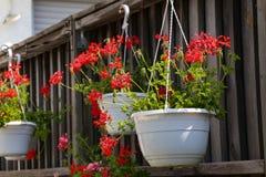 Geranium - Beautiful garden flowers. / blossom in summer stock photos
