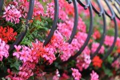 Geranium - Beautiful garden flowers. / blossom in summer stock photography