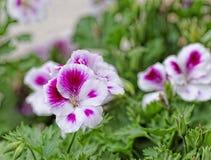 Geranium. Beautiful geranium in my garden royalty free stock images