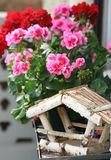 Geranium. Beautiful pink geranium with white background stock photos