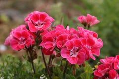 Geranium. Beautiful geranium plant on balconies royalty free stock images