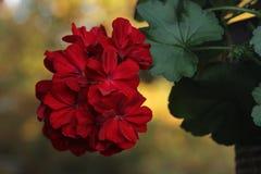 Geranium. A beautiful, red geranium flower stock images