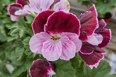 Geranium in bloom. In the garden royalty free stock images