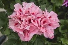 Geranium in bloom. In the garden stock images