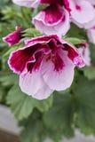 Geranium in bloom. In the garden stock photography