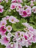 Geranium in bloom. In the garden stock image