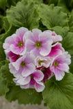 Geranium in bloom. In the garden stock photo
