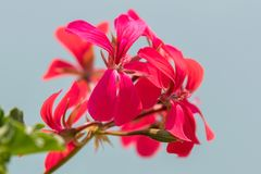 Geranium in bloom in the garden. Red geranium in bloom in the garden stock photo