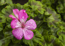 Geranium. Blooming geranium, geranium color is gorgeous, is loved by people of varieties of ornamental flowers and plants stock image