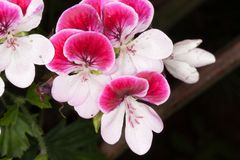 Geranium blooming pink and white flowers royalty free stock photography