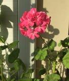 Pink geranium flowers. Geranium blooming season stock photo