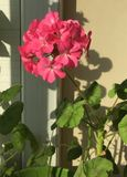 Pink geranium flowers. Geranium blooming season royalty free stock photography