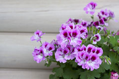 Geranium. Blossoming geranium over beige background Stock Photo