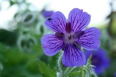 Geranium. Blue flower of blooming geranium Stock Photo