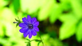 Geranium bohemicum stock footage
