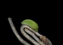 Geranium Bronze Butterfly, Cacyreus marshalli - caterpillar macro Royalty Free Stock Photos