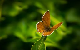 Geranium Bronze Butterfly macro. A beautiful geranium bronze butterfly on deep green back ground Royalty Free Stock Images