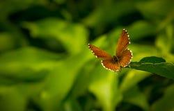 Geranium Bronze Butterfly macro. A beautiful geranium bronze butterfly on deep green back ground Royalty Free Stock Photo
