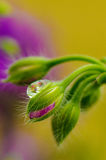 Geranium bud Royalty Free Stock Images