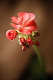 Geranium bud expanding Stock Photos