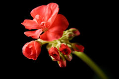 Geranium bud expanding Stock Photo