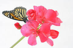 Geranium and butterfly Stock Photo
