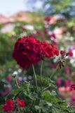 Geranium, Calliope Dark Red Royalty Free Stock Photos