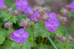 Geranium cantabrigiense karmina flowering plants with buds, group of ornamental pink cranesbill flowers in bloom in the garden. Green leaves royalty free stock photography