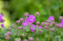 Geranium cantabrigiense karmina flowering plants with buds, group of ornamental pink cranesbill flowers in bloom in the garden. Green leaves royalty free stock photos