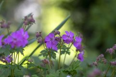 Geranium cantabrigiense karmina flowering plants with buds, group of ornamental pink cranesbill flowers in bloom in the garden. Green leaves stock images