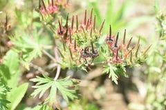 Geranium carolinianum. / Carolina geranium / Carolina cranes bill stock images