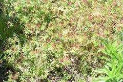 Geranium carolinianum. / Carolina geranium / Carolina cranes bill royalty free stock image