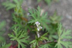 Geranium carolinianum. / Weeds growing on the roadside royalty free stock photos